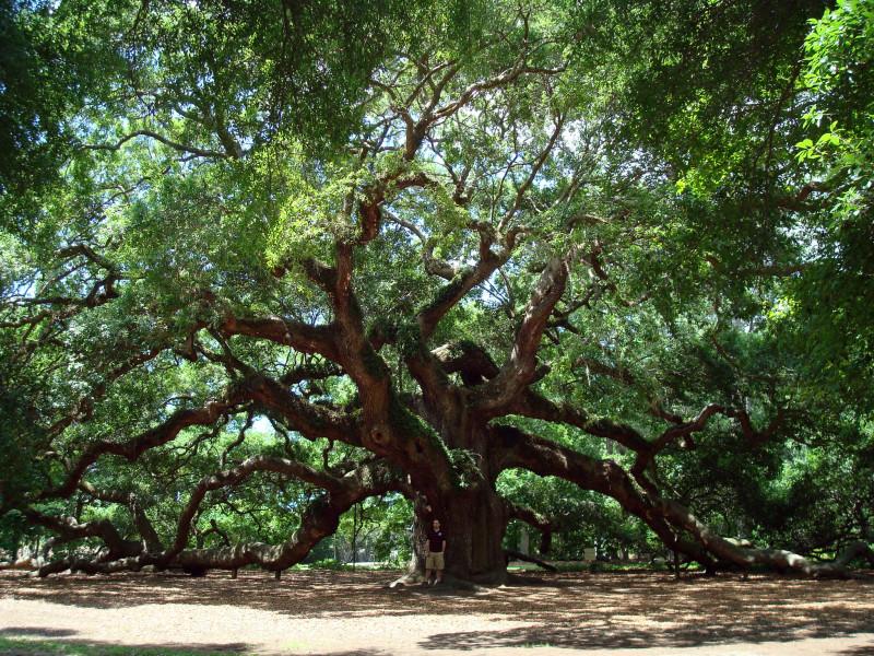 Angel_Oak_Tree_in_SC