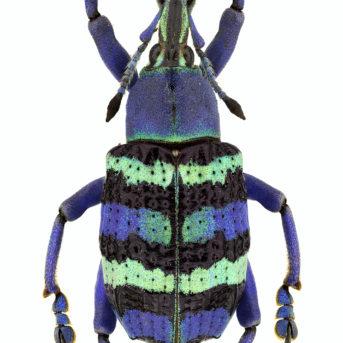 14 Weevil (Eupholus magnificus) Yapen Island, Indonesia website image (3)